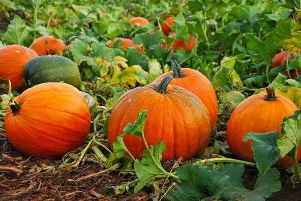 Вирощування гарбуза: сільськогосподарські тонкощі